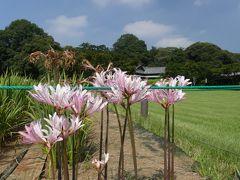 「つつじが岡第二公園」のヒガンバナ_2019_ピンクの花が数株だけ、白も赤も見当たりません(群馬県・館林市)