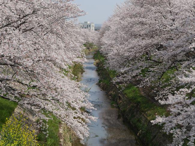 桜が満開のころ,奈良と吉野に行った.研究会での役得だ.私の仕事は午後,今回は招待ではないのでホテルは自分で選ぶ.3月と同じ,奈良プラザホテルに2泊にした.この間仕事が忙しくて疲れたいたので,4月7日はゆっくりと出発.佐保川の満開の桜を楽しむ.その後大安寺に大好きな仏像を見に行く.帯解寺にも行ったが,安産祈願の人でごった返していた.1500から研究会.翌日は吉野へ,吉野山を巡り,桜を愛で,大和八木でレンタカーを返し,1805発特急で名古屋へ.タクシムによって,8月のトルコ行きの相談をする.ホテルマイステイズ泊.この日もゆっくりして1157発のぞみ14号で帰京,午後から仕事した.仕事のついでの役得ではあったが,桜を十分に愛でることができた.ここではNH35便と宿泊のホテルを紹介.また一度は行ってみたかった佐保川の満開の桜を掲載した.そのあと今日1500からの研究会にまだ時間があるため,割と近い大安寺に行く.私はここの天平木造仏が好きで,学生時代から何度となく拝観しているが,この10年ほどは訪問していなかった.楊柳観音など堪能.わたしはここの直線的な四天王も大好きだ.桜の季節久しぶりに拝むことができた.時間が少し余ったので帯解寺に行ったが,安産祈願の人でごった返しており,時間がないこともあり,境内に8分ほどの滞在で,失礼した.奈良市内にて1500-1800に仕事 1850頃にホテルに帰りゆっくりとサウナに入り,夕食とした この日は短い時間の中で佐保川と大安寺,帯解寺を見学し,桜を楽しんだ<br />詳細はsuomita2<br />【国内325】2019.4奈良出張,桜を満喫,そして名古屋へ1-奈良プラザホテルに2泊,佐保川の満開の桜<br />https://4travel.jp/travelogue/11538640<br />2019.4奈良出張,桜を満喫,そして名古屋へ2-桜の季節の大安寺,塔跡,帯解寺<br />https://4travel.jp/travelogue/11538738