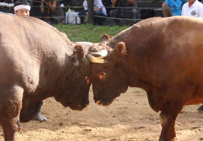 4回目の闘牛観戦 越後山古志牛の角突き<br /><br />越後山古志の牛の角突き、牛の角突き後牛のオーナーが牛の引き回し披露するのですが牛飼いのお爺ちゃんが亡くなったの代わってお婆ちゃんが場内一周、いつも世話をしてくれるおばちゃんが大好きなのか牛がモーモー啼きながらの場内一周、感動して涙が出そうになりました。闘牛場内は女人禁制でしたが解禁されたのは割と最近のことだそうです。大相撲も見習うべきですね。写真は立派な角を持つおばあちゃんが大好きな栃尾の景虎号です。胸を張って誇らしげなおばあちゃんも素敵です。