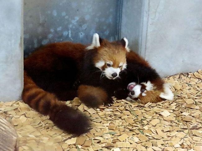 一昨日の東北サファリパークからいよいよ始まった2019年生まれの仔パンダ遠征・・・今日はまずは静岡市日本平動物園、そして、もし、可能ならば浜松市動物園をハシゴしたいと考えています。<br /><br />静岡市日本平動物園は今年、ホーマーちゃんが来日後3度目の出産となりました。<br />特筆すべきは彼女が日本で産んだ3匹のお父さんは全員違うことで、今年はついに日本平の若手のホープである縞縞(ガオガオ)君の子供を世に送り出してくれました!!<br />ざっくり言ってホーマーちゃんには1/4、縞縞君には1/2の海外の血が入っているので(ホーマーちゃんはアメリカ生まれですが、彼女の祖父母のうちの3匹は日本出身なんです)、新しい血統とはなかなか言いづらいところもありますが、今年生まれのおチビちゃんは血統の多様性のキーパーソン(キー小熊猫)になってくれる存在なのは間違いないと思います。<br /><br />そして、浜松市動物園では風太家のチイタ君が11歳にしてついに!!やっと!!パパになってくれました!!<br />そして、初産で子育ても見事にこなしている奥様がアドベンからお嫁入りして来たライラちゃんとシンシン君の娘さんのキララちゃん!!<br />浜松の双子ちゃんは、祖父母が日本平、茶臼山、西山、円山と日本を代表する有名レッサーパンダ飼育園で固められた、いわば日本中のファンの孫的存在なのです。<br /><br />今日は午後から天候が崩れるとの予報ですので、朝一番に日本平動物園に行き、もし、首尾よくおチビちゃんに会えた場合にのみ浜松市動物園に転進するつもりです。<br />さてさて、どうなることやら・・・乞うご期待。<br /><br /><br />これまでのレッサーパンダ旅行記はこちらからどうぞ→http://4travel.jp/travelogue/10652280