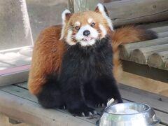 静岡レッサーパンダとグルメは赤ちゃんにも会えたラッキー続き(4)緑の楽寿園:レッサーパンダのルルちゃん・ココロちゃんと面白アルパカなど