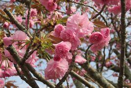 2018春、岡山の百名城巡り(13/13):4月7日(13):津山城(5):桜の時期の津山城、備中櫓、里桜・関山