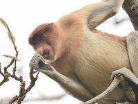 クチン (マレーシア) 旅行 ~オラウータンに会いに行く旅 ~ � バコ国立公園 テングザルに会いに