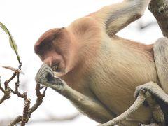 クチン (マレーシア) 旅行 ~オラウータンに会いに行く旅 ~ ③ バコ国立公園 テングザルに会いに