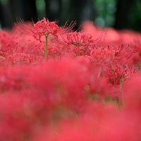 500万本もの曼珠沙華が彩る紅色の絶景〜ひだか巾着田・曼珠沙華公園へ〜