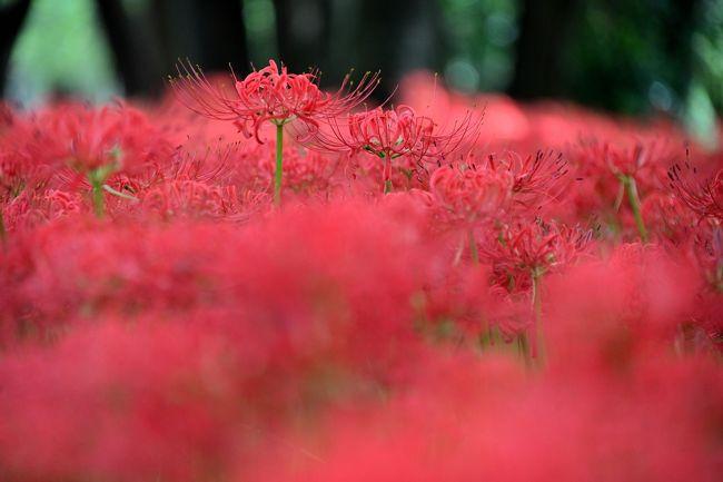 9月の月末の日曜日、ぷらっと日帰りで埼玉県日高市の巾着田へ。<br /><br />日本でも有数の曼珠沙華(彼岸花)の群生地である「巾着田」の「曼珠沙華公園」には、見頃になると500万本もの紅い花々が絨毯を敷き詰めたように咲き誇ります。<br /><br />例年だと秋分の日くらいに見頃を迎えるものの、公式HPの開花状況を確認していると、今年は開花が1周間ほど遅いよう。<br />9月26日より公園の入場が有料となり、いよいよ見頃となったと判断し、月末の日曜日に朝イチで訪れてみることに。<br /><br />さてさて、どのような紅色の絶景が待っているのでしょうか???<br /><br /><br />〔春夏秋冬・季節の花の旅〕<br />●2月/梅<br />・関東八州・季節の花の旅【弥生/梅】Part.1~3,000本の梅花が咲き乱れる名所「偕楽園」~<br /> https://4travel.jp/travelogue/11470273<br />●8月/ラベンダー<br />・夏の盛りに上州北部へ避暑の旅《Part.1》~5万株のラベンダーが彩る柴色の絶景・たんばらラベンダーパークへ~<br /> https://4travel.jp/travelogue/11524388