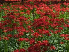 一面の赤い絨毯~巾着田