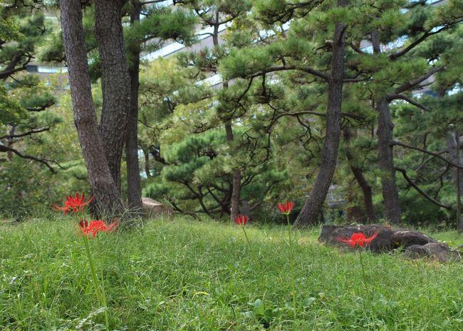 日比谷公園は、幕末まで松平肥前守などの大名屋敷地で、明治時代には陸軍練兵場となっていたとか、今でも貴重な江戸時代の遺構が残っているようです。<br />明治36年に「都市の公園」として造成され、日本初の近代的な洋風公園として誕生、平成25年に開園110年を迎えました。<br />日比谷公園のある場所は江戸時代は大名の屋敷地で、江戸城に登城するためには現在の日比谷交差点にかかる位置にあった、見張り役人が警備する日比谷見附を通り抜けなければならなかったのだそうです。だからではないとは思いますが、現在の日比谷交差点の公園側には交番があります。<br />そんな日比谷公園の三笠山で以前曼珠沙華が群生していたのを思い出して、出掛けてみました。<br />                       <br />                   (2019.10.3 記)<br /><br />