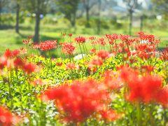 キラキラ彼岸花とコスモス 初秋のさとにわ耕園