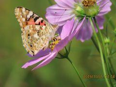 森のさんぽ道で見られた蝶(57)ウラナミシジミ、モンキチョウ、ヒメアカタテハその他