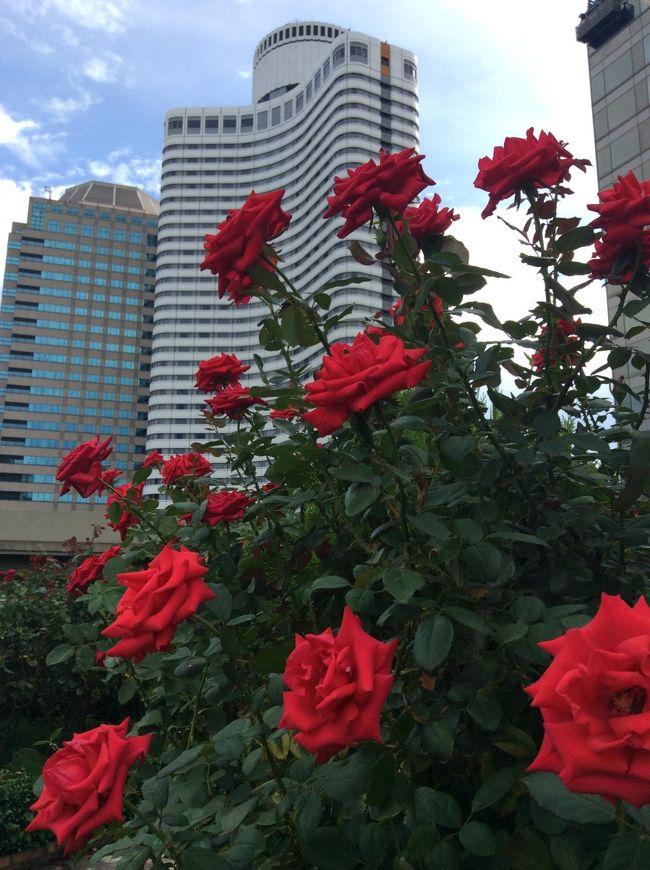 ニューオータニ3階屋上のバラ園が満開です。高層ビルに赤とピンクのバラが映えます。無料ですのでお薦めです。<br /><br />