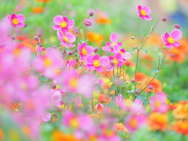 ズーラシアの隣にある里山ガーデンへ行きました。里山ガーデンフェスタ2019は、9/14~10/14まで。手入れの行き届いた花壇には色とりどりのお花がいっぱい咲き乱れていました。入場無料で楽しめる場所です。横浜の花で彩る大花壇の約8割の花苗は横浜市内の農家で育てられたものなのだそうです。