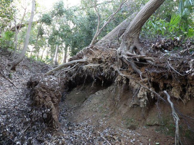 先月の台風15号の被害は鎌倉市にも及んでいるが、鎌倉郡であった横浜市南部でも風による倒木は多くあるようだ。<br /> 横浜市戸塚区上倉田町の尾根道は実方塚参道で古代からの山道である。横浜市内でも台風15号が近くを通り過ぎる際には風の音が凄かった。そのために、強い風をまともに受けたこうした山の尾根では倒木が多く見られる。しらぎく幼稚園側から上って実方塚参道に至り、この参道を下ってみた。<br /> なお、実方塚の南側周辺には何家かの実方家が実方塚の墓守として1,000年余り前から住んでいるが、これら実方家の各家の家祖同士には血の繋がりはないと地元では伝承されているようだ。塚の墓守が実方を名乗るようになったのであるが、実方塚は藤原実方の墓ではない、おそらくは、蝦夷の地では現地妻という訳には行かないので、京から側室を連れて陸奥に向かう途中に、ここ戸塚で亡くなり、実方道中で側近ではなく、引っ越しの荷物を運ぶ者などの中から数名が墓守となったのであろう。実方塚には埋葬した塚と着物を埋めた塚の2つの塚が伝わって来たので亡くなった人は女性であったと考えられる。また、陸奥に従う実方の家人や家臣であっても苗字はあっただろう。苗字がなかった人が墓守になったのだと考えると合点が行く。<br />(表紙写真は実方塚参道入口の倒木)
