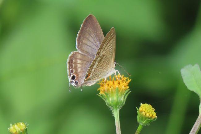 10月7日、午後1時過ぎ川越市の森のさんぽ道へ行きました。 蝶の観察を続けていると花の開花時期で集まってくる蝶の種類に特徴が見られることがわかりました。  ハルジオン、ニラの花、キバナコスモス、コスモスではヒメアカタテハ、ツマグロヒョウモン、ミドリヒョウモン、キタテハ、モンシロチョウ、キチョウ、モンキチョウ、イチモンジセセリ、ウラナミシジミ、ツバメシジミ等が集まってきます。 今回、樹液が出ているクヌギの樹に止まっている蝶が最近激減しています。樹液が枯れるようになったことによると思われます。本日、樹液が出ているクヌギの樹に止まっている蝶の観察はやめて畑地の方へ行き、集中してコスモス、キバナコスモス等に集まってくる蝶を写真撮影しました。 この後、畑地横の荒れ地に生えているコセンダングサの花に集まっている蝶の種類が多いことに気づきました。<br /><br />*コセンダングサの花に止まっているウラナミシジミ