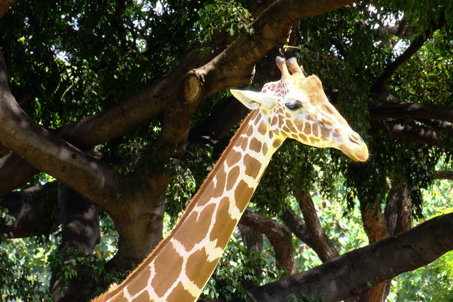 ジョギング後シャワーを浴び、朝食。<br />その後、9月4日から借出すレンタカーの手続きをしたのち、ホテル隣の動物園へ行きます。