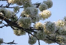 2018春、東北北部の名城巡り(28/28):4月26日(10):盛岡城(3:完):里桜、木瓜、庭園、ヒヤシンス