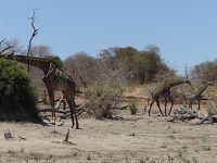 ボツワナ、カサネからチョベ国立公園サファリ、フルデーゲームドライブ� 個人手配の気まま旅行