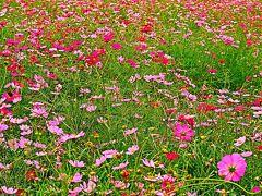 昭和記念公園-4 花の丘  コスモスまつり ☆秋桜〈センセーション〉400万本/台風にもめげず