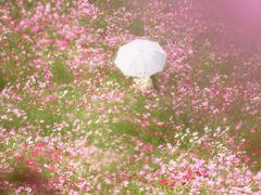 Japan 昭和記念公園のコスモス 台風が来る前に ~ミツバチばあやの冒険~
