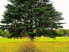 昭和記念公園-5 みんなの原っぱ コスモス 品種色いろ ☆レモンイエロー・日の丸/あかつき