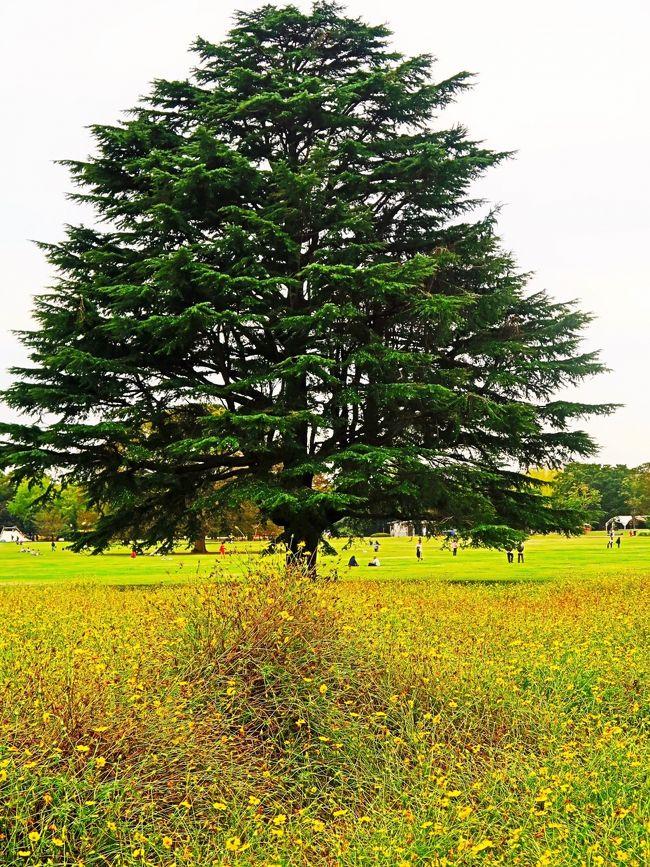 みんなの原っぱ<br />園内のちょうど真ん中にあるみんなの原っぱは、南北に約400m、東西に約300mの広大な原っぱです。なんと東京ドームが2つ分、まるまる入る約11haという広さ。原っぱ中央には公園のシンボルツリー、高さ20m以上の大ケヤキがあります。<br />原っぱの東と西にある2つの花畑では春にはナノハナやポピー、秋にはコスモスが開花します。<br />http://www.showakinen-koen.jp/facility/facility_harappa/<br />より引用<br /><br />コスモスの種類 については・・<br />https://www.ofuro.jp/flower/cosmos/cosmos.html<br />https://www.sakataseed.co.jp/product/search/code00907184.html<br />https://www.sakataseed.co.jp/product/search/id1815.html<br /><br />国営昭和記念公園は、東京都立川市と昭島市に跨る日本の国営公園。 <br />昭和天皇御在位50年記念事業の一環として、現在及び将来を担う国民が自然的環境の中で健全な心身を育み、英知を養う場とするために、戦後米軍が旧立川飛行場を接収した立川市と昭島市の両市にまたがる立川基地跡地のうち、180haを記念公園として建設することが閣議決定され、「緑の回復と人間性の向上」をテーマに1978年(昭和53年)度より国土交通省の手で施設整備が進められてきた。1983年(昭和58年)10月26日、昭和天皇臨席のもとに約70haで開園した後、レインボープールや子供の森、日本庭園、砂川口、盆栽苑等次々と施設が整備され、2005年(平成17年)11月にはみどりの文化ゾーンが共用され、同時に昭和天皇記念館が開館した。 <br />(フリー百科事典『ウィキペディア(Wikipedia)』より引用)<br /><br />国営昭和記念公園 については・・<br />http://www.showakinen-koen.jp/<br /><br />国営公園とは、日本において都市公園法に定められた要件を満たしている公園または緑地で、国(国土交通省)が設置するものを指す。 <br />国営公園 については・・<br />http://www.ktr.mlit.go.jp/city_park/machi/city_park_machi00000005.html