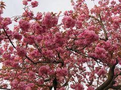 2018春、長野の百名城巡り(11/25):4月16日(11):高田城(1):桜の名所・高田公園、見頃の八重桜
