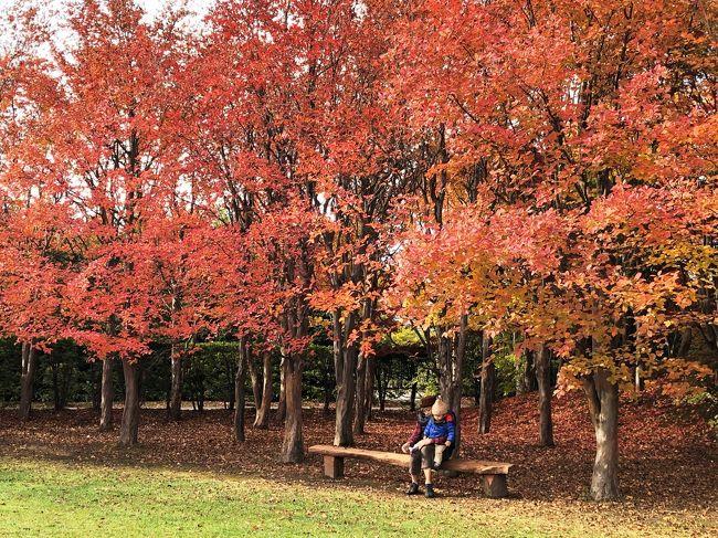 「札幌公園めぐり」の秋編。<br /><br />札幌市内には無料で楽しめる公園があちこちにあり、それもかなりクォリティが高い!(と、個人的には思っているのですが)<br /><br />ほぼ毎年、春の桜の時期と10月下旬の紅葉の時期に必ず訪れるのがここ「平岡樹芸センター」<br /><br />何が凄いって、園内中心にある200メートル近くにもなる「ノムラモミジ」の「真っ赤なトンネル」がそれはそれは圧巻!<br />こちらの樹芸センター、例年11月3日ころで冬季閉園になるため、「真っ赤なトンネル」のピークは閉園後になってしまいなかなか見ることが出来ない。<br />が、今年はなんと、11月10日まで、開園期間が延長されているようです!<br /><br />とはいっても、札幌市内在住ではないためタイミングよいときにも来られず、今回も早いかなと思いつつ、恒例行事のため足を運んできました。<br />「真っ赤なトンネル」にはまだ早かったけど、それでも秋の気持ちよい日差しの中、紅葉に癒されてきました。<br /><br />★平岡樹芸センター★<br /><br />  http://www.sapporo-park.or.jp/jyugei/