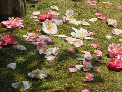 2018春、関西の花のお寺巡り(3/16):4月10日(3):百毫寺(3):本堂、関西花の寺18番、五色椿の落花