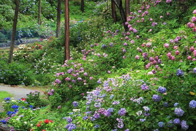 救馬渓観音のあじさい<br />約1300年の歴史を持つ和歌山県南部では最大で最古の開運、厄除けの霊場です。<br /><br />この救馬渓観音の境内の約2000坪の敷地に約1万株、120品種のあじさいが咲き誇る「あじさい曼荼羅園」が設けられています。<br />訪問した6月末でしたが、あじさいの盛りは過ぎているようでした。<br />