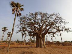 セネガルドライブ バオバブの木と茶色の大地