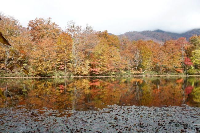 毎年恒例、紅葉を求めて週末プチ一人旅。福井の秘境「刈込池」と「鳩ヶ湯温泉」に行ってきました。 <br /><br /> どれくらい秘境かというと、福井から列車で一時間で越前大野駅、そこから一日二本(しかも冬期運休)のバスで40分で鳩ヶ湯温泉。ちなみに鳩ヶ湯温泉に着く直前、県道の一本道ですが10kmくらい携帯が圏外です。そこから二時間ほど県道を歩いて小池公園キャンプ場、そこからハイキングコースを一時間ほどでようやくたどり着きます。福井から公共交通で片道約五時間です。