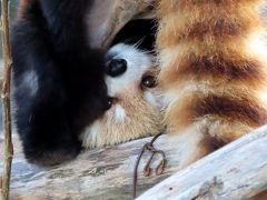作成中 円山動物園 ひ孫が出来てもココちゃんはマルズのエース!! 彼女が元気だと放飼場が明るくなります
