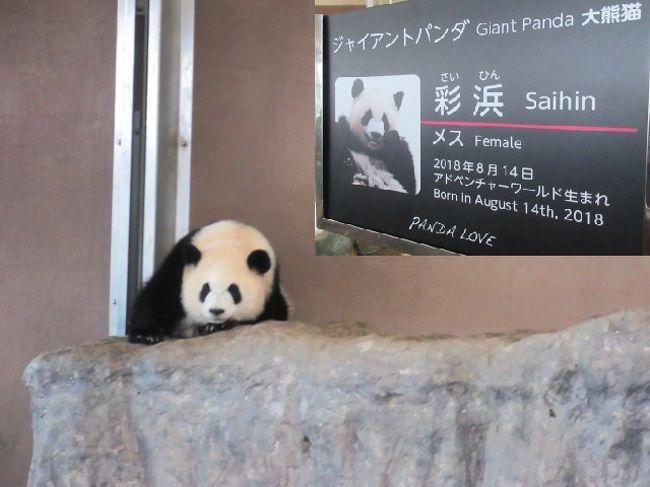 天王寺からJR特急くろしお号で白浜往復・白浜マリオット2泊<br />白浜観光と温泉。東京よりだいぶ温かくて穏やかな初秋でした。<br /><br />[パンダの国の人は白浜温泉に泊まっても、パンダを見ない・・Stayed in白浜マリオット]の続きです。<br /><br />パンダのサイヒン(彩浜)の独り立ちの日に、白浜アドベンチャーワールドに行きました。<br /><br />白浜は関東では知名度希薄(ほぼ、誰も知らない)ですが、温泉あり、白い海岸あり、の風光明媚。白浜アドベンチャーワールドは日本一パンダの多いテーマパークで、イルカや動物のショーは演出がスゴイ。JAL直行便があるので、行きましょう。<br />温泉地にテーマパーク2つ(アドベンチャーワールドとエネルギーランド)隣接して、お魚グルメも楽しい観光地です。<br /><br /><br />画像は白浜アドベンチャーワールドの可愛いサイヒン、です。