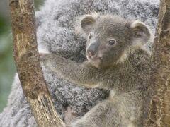 埼玉こども動物自然公園でレッサーパンダとコアラの赤ちゃんに会いたい(2)いたずらコツメカワウソとなかよしコーナー~コアラの赤ちゃんママおんぶ