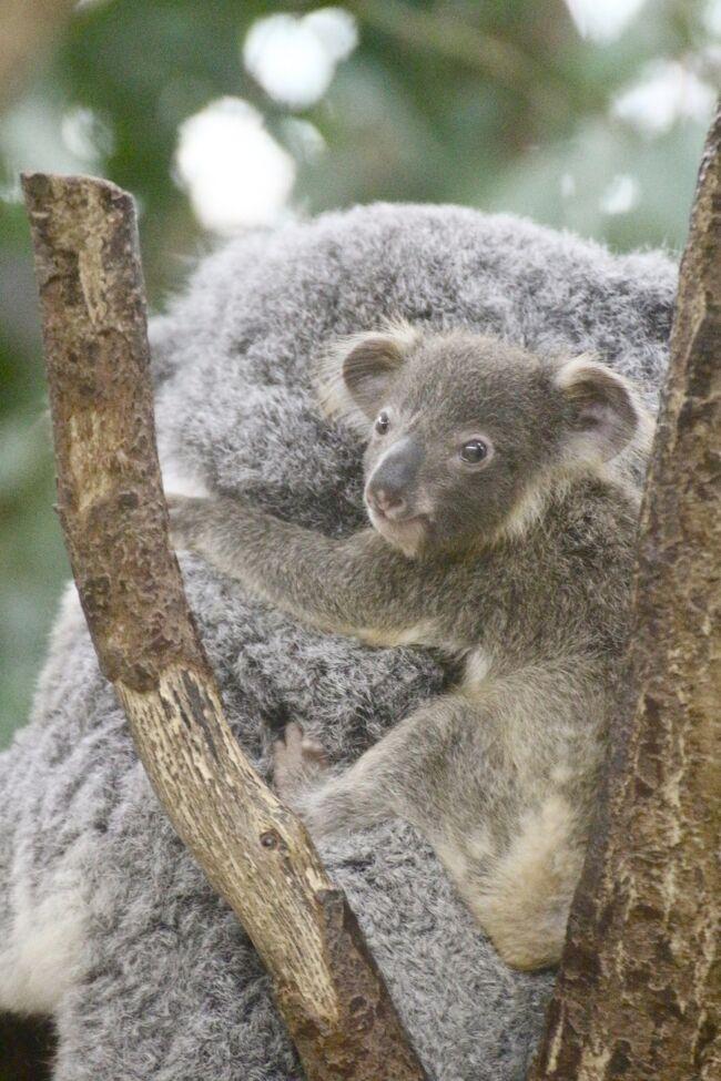 埼玉こども動物自然公園でレッサーパンダとコアラの赤ちゃんに会
