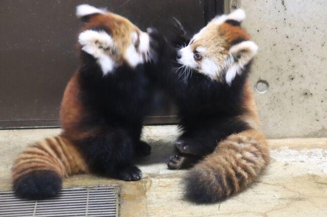 我が地元の埼玉こども動物自然公園(略して「埼玉ズー」)で今年2019年もレッサーパンダの赤ちゃんが、しかも今年は双子が生まれ、先月公開2日目に会いに行きましたが、今月11月の5日から早くも赤ちゃんの公開が終日となりました!<br />もともとそれを当てにしていたので、本日はスロースタートになったのですが、午前中は赤ちゃんたちが寝ていたのは仕方がないにしても、いつも11時45分からのレッサーパンダのおはなしイベントに時に目覚めるレッサーパンダたち、特にみやびちゃんが高い高い木の上でお昼寝したまま顔が見られなかったのは残念で、テンションが下がってしまいました。<br />赤ちゃんたちも、室内展示場の見やすい一番高い横木の上で、ママの両脇にぴたっとくっついて寝ていて、そんな親子3頭の姿は、他の来園者からも「かわいいーっ!」と黄色い声があがるほどにほっこり可愛らしかったのですが、赤ちゃんたちは遊び疲れて眠ったように見えたので、やはりレッサーパンダたちの活動的な姿を見るには朝一番でなければダメだとスロースタートであったことを後悔しました。<br /><br />でも、今回は、12時前にレッサーパンダたちが目を覚まして活動的にならなかったのと、13時半から赤ちゃんの命名式典があることを知ったので、結局、13時半には間に合わなかったけれど、コアラの見学をいつもより早めに切り上げて13時40分にはレッサーパンダ展示場に戻ってきたら……!<br />ひょっとしたら式典でにぎわったのも影響したのか、赤ちゃんもみやびちゃんも含め、みんな目を覚ましてよく動いていました!<br />たぶん午後ずっとです!<br />12時台に活動的な時は、午後3時くらいまで昼寝していることが多いのですが、こういう日もあるんだなぁと思いました。<br /><br />本日は、レッサーパンダ展示場の前には、遠方から来たレッサーパンダ・ファンさんが4~5人来ていたようです。<br />埼玉ズーの室内展示場前は、室内展示場前は広い方だし、すぐ隣に屋外展示場があるので、赤ちゃんが終日公開になったおかげもあり、レッサーパンダ展示場前はあまり混まず、みんないい具合に譲り合って、一時的に混雑しても、すぐ波が引きました。おかげで、人が空いているときには張り付いていられてとてもありがたかったです。<br />途中でちょっとエコハウチューからペンギンヒルズまで見に席を外しましたが、今回は、心ゆくまで赤ちゃんたちの様子を見て、シャッターを切ることができました!<br />もっとも、心ゆくまでシャッターを切れても、帰宅後に写真をチェックしたら、まあこの展示場ではどうしても仕方がないのですが、かなり惨敗でした(苦笑)。<br />ただ、今回はシャッターを切るチャンスが途切れず、途中で写真チェックする余裕がほとんどなかったので、どれくらい失敗したか確認できず、後の方ではチャンスがあってもあまり撮り直ししなかったのが敗因の一つでもありました。<br />でも、また会いに行くもん!<br />来月になったら、赤ちゃんたちは今より大きくなって、もっと動きが激しくなっているだろうけど、もしかしたらお姉ちゃんたちやお父さんと一緒に、外展示が開始しているかもしれません。<br />飼育員さんによると、屋外展示を開始するには、まずは赤ちゃんたちが、呼べばちゃんとバックヤードに戻ってくるくらい慣らす必要があるようです。<br /><br />赤ちゃんたちの名前は、私も一票投じたリュウくんとセイくん(あわせて流星)に決まりました。<br />これまで何回かレッサーパンダの赤ちゃんの名前投票をする機会がありましたが、毎度外してばかりだったので、今回初めて名付け親の1人になれました!<br /><br />リュウくんは、顔が全体的に白っぽくて、目の周りが白く縁取りされた、きりっとした顔の子です。私はきりりっくんと呼んでいましたが、ファンの間では、歌舞伎くんと呼ばれていました。<br />でも、いまや穏やかな母親の顔になったハナビちゃんは、公開当時の赤ちゃんの時は歌舞伎ちゃんだったのです。きっと長じるにつれて、リュウくんも顔つきはかなり変わるでしょう。<br />レッサーパンダ・ファンさんの間では、リュウくんがいずれ歌舞伎くんではなくなるだろうとの予測に、ちょっと残念そうなトーンもありました(笑)。<br />セイくんは、おだやかな顔つきをしていて、たぶんソウソウ・パパ似だと思います。<br />セイくんの方は大きくなってもあまり顔つきは変わらないかもしれないし、あるいは母方のおばあちゃんのミンファちゃんのきりっとしたところが出てくるかもしれません。<br />いずれにせよ、どちらも成長が楽しみです。<br /><br 