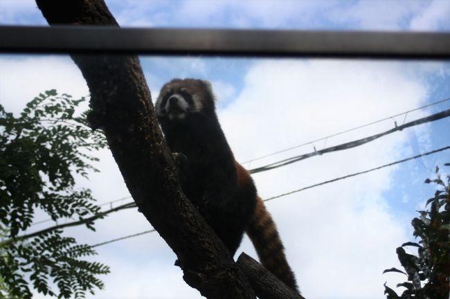 動物園が無料開放だった10/22に地下鉄で天王寺動物園にでかけました。<br />最近、動物の死や脱走事件などが多く報道される天王寺動物園。<br />ゾウもコアラもいない動物園はなんだか寂しい空気を感じました。<br />ベンガルヤマネコもスナドリネコも亡くなっていました。<br />ネコ科に会いに行く楽しみで出かけたのですが、ネコ科が少なくなっていて寂しく感じました。<br /><br />天王寺動物園は都会の空気汚染の中にある動物園です。<br />以前は旭山動物園の園長さんと親しい園長さんだったのですが・・・。<br /><br />動物たちが守られますように祈りながら歩きました。<br /><br />天王寺動物園周辺の景色が商業施設になってすっかり変わりました。<br />以前は青テントで過ごされているホームレスの方たちも多くおられました。<br />動物園の入口近くでは新しい施設の工事がされていました。<br /><br />動物や鳥たちにとって、安心安全の環境で健康が守られますように。<br /><br /><br /><br />