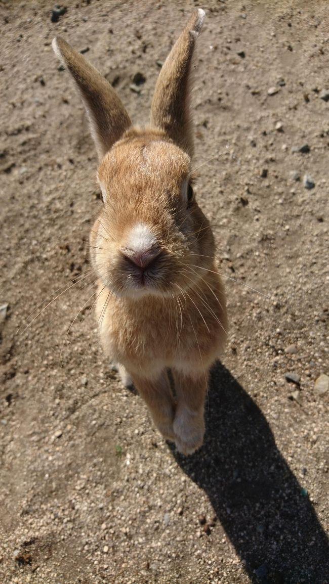 うさぎ島に行きました。島に着くなり、かわいらしいたくさんのウサギが歓迎してくれました。そんなかわいらしいウサギに囲まれて癒されましたが、ここは昔、地図にない島だったのですね。かわいいウサギの後ろに広がる毒ガス工場の廃墟。愛くるしいウサギは、平和の大切さを訴えているようでした。