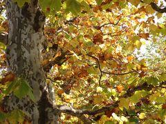 やっぱり今年も来てしまったプラタナスの並木、新宿御苑・・・