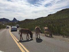 アリゾナ州 オートマン - 帰り道の道路にもロバたち