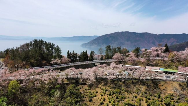 琵琶湖の北岸から尾崎の岬に向けての峠道は、岸辺から頂上まで桜が3000本も続く桜並木です。