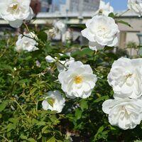 大阪☆中之島公園 冬が来る前に秋バラみーちゃお(*^_^*)