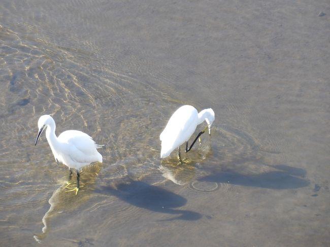 柏尾川に架かるJR戸塚駅のホームの下流には朝日橋と桜橋が架かっている。その桜橋から川面を見下ろすと白サギが9羽も群れている。白サギがこれほどの数で群れているのは初めてのことだ。川面を飛ぶ白い鳥はカモメである。今年(2019年)も秋から冬がやって来たようだ。<br />(表紙写真は柏尾川の白サギ)