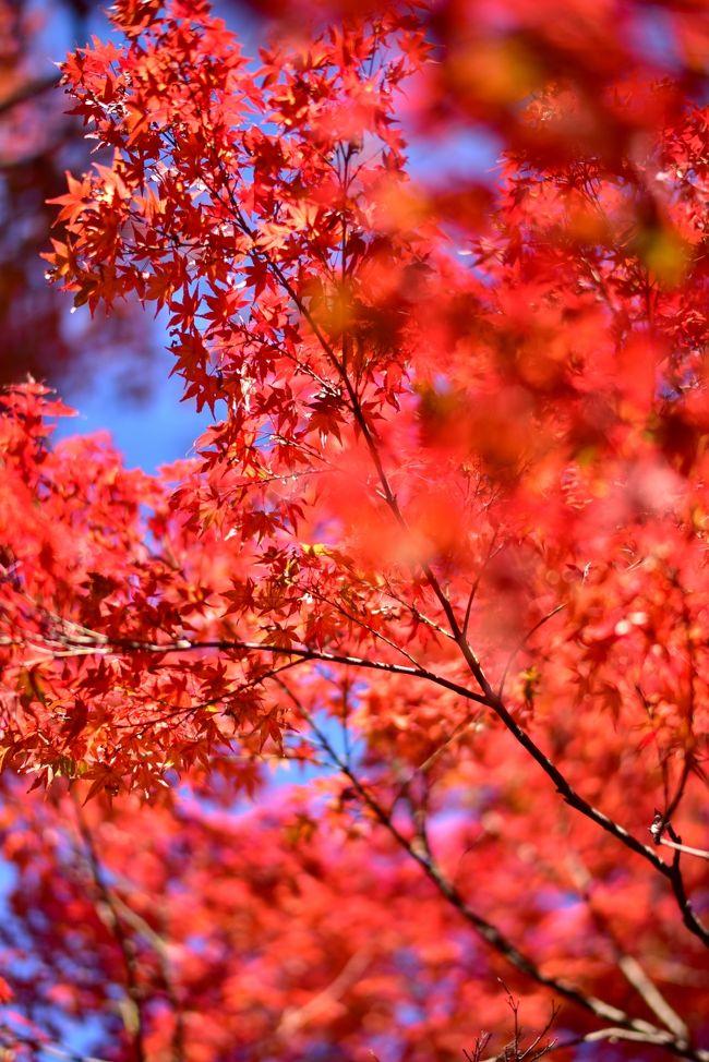 当初曇りのち雨の予報だった週末が一転して晴れ予報に。2年ぶりに秋の京都へ行ってみました。非常に混んでいた週末でしたが、紅葉の当たり年の色付きと見頃のタイミング、爽やかな秋空の条件はなかなか見に行く事が出来ずわざわざ見に行った甲斐はありました<br /><br /><br />●午前<br />東福寺<br />光明院<br />雲龍院<br />泉涌寺<br /><br />●午後<br />天龍寺<br />常寂光寺<br />厭離庵 紅葉には早過ぎ<br />化野念仏寺 15時には日が当たらずで中止<br /><br />●夜<br />天授庵 人多過ぎで中止<br />永観堂 人多過ぎで中止<br />金戒光明寺<br />