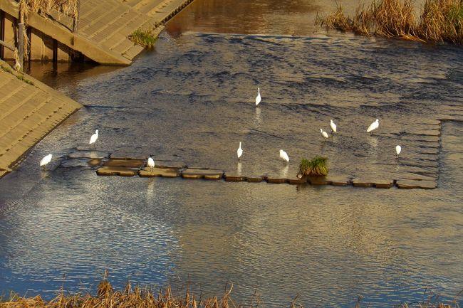 昨日までの1週間は雨続きであったが、その前の晴天の日(11/21)には、柏尾川に白サギが7羽も群れていて(https://4travel.jp/travelogue/11568842)驚いた。ただし、写真には5羽しか写ってはいなかった。1週間振りの晴れの日となった今日、柏尾川には10羽の白サギが群れていた。場所は桜橋の上流である。その10羽の白サギの姿を写真に写した。まさか、白サギも黒のカワウのような数まで殖えて群れる(https://4travel.jp/travelogue/10925294)ことはよもやないだろうか、不安になる。<br />(表紙写真は10羽の白サギ)