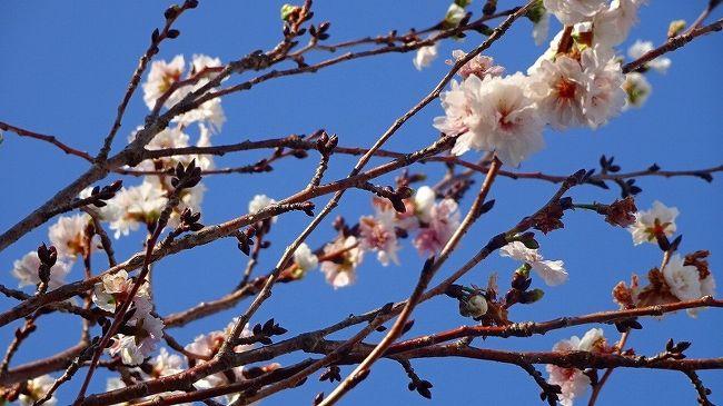 その1からの続きです。<br /><br />写真は、スポーツセンターに咲く子福桜。