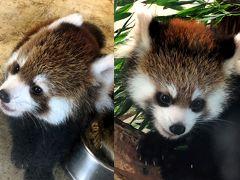 埼玉県こども動物自然公園&東武動物公園 はじめまして、流星兄弟!!これで今年生まれの仔パンダ全員に会うことが出来ました