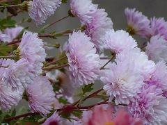 緑ヶ丘公園の十月桜を観に行きました 上巻。