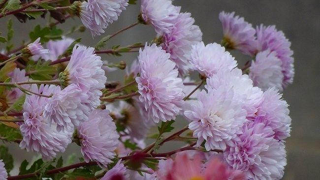 数年前、市役所前で咲いていた十月桜が、緑ヶ丘公園の梅林が病気で全滅した時、梅林の跡地へ移転しました。<br />最初は、移転のために花が咲かず、やっと昨年あたりから桜が咲き始めて、今年はどうなのか確認しに出かけました。<br /><br />市役所前ほどの咲き方ではないが、少しずつ元気になってきて、今年あたりから花見をするに値する程度になっていました。<br /><br />家から荻野北バス停まで歩き、市バスに乗って東野バス停で降り、後は歩いて緑が丘公園から国道171号を通り、大鹿口まで歩き、市バスの大鹿口停留所で市バスに乗って帰宅しました。<br /><br />写真が多いので、3冊に成っています。<br /><br />写真は、東野バス停近くの畑に咲く菊の花。