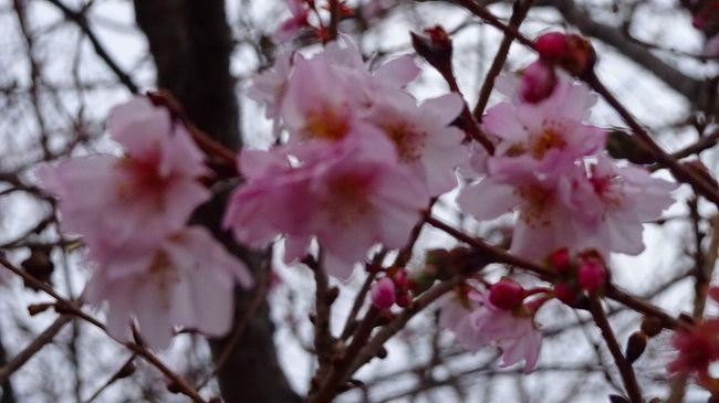 上巻からの続きです。<br /><br />写真は、東野地区の苗圃に咲く十月桜。